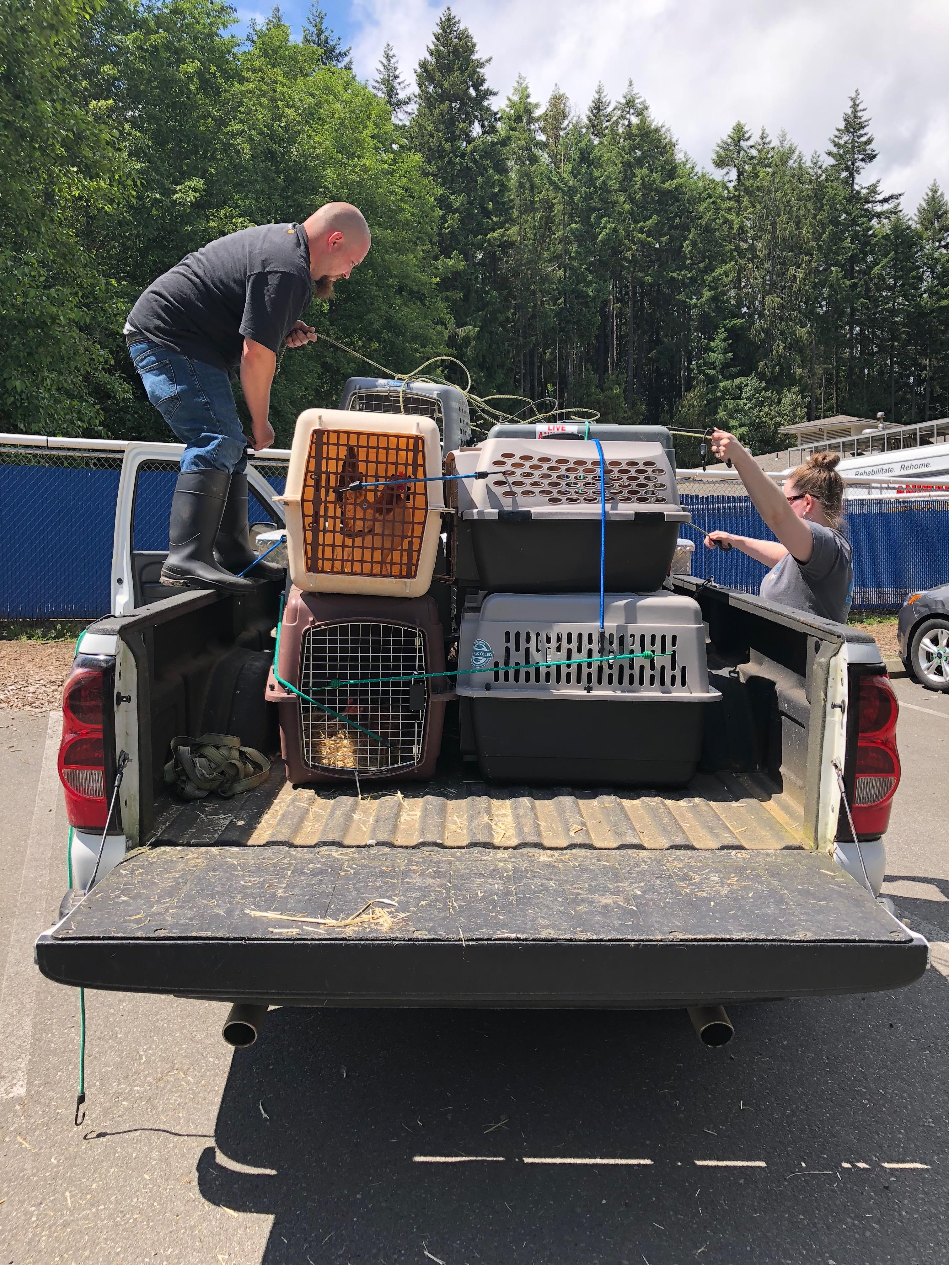 Kitsap Humane Society | KHS Rescues Hens & Chicks from